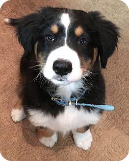 Great Pyrenees/Australian Shepherd Mix Dog for adoption in Woonsocket, Rhode Island - Benson