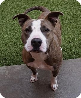 American Pit Bull Terrier/Bull Terrier Mix Dog for adoption in Farmington, New Mexico - Maeday