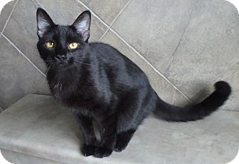 Domestic Shorthair Cat for adoption in Seguin, Texas - Sebastian