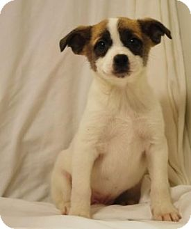 Beagle/Pug Mix Puppy for adoption in Chalfont, Pennsylvania - Sam