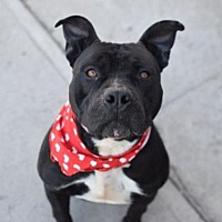 Adopt A Pet :: Loverboy/Thor - Manhattan, NY