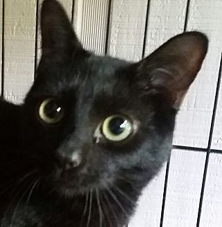Domestic Shorthair Cat for adoption in Ocala, Florida - Raven