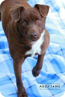 Terrier (Unknown Type, Medium) Mix Dog for adoption in Edwardsville, Illinois - Ricky