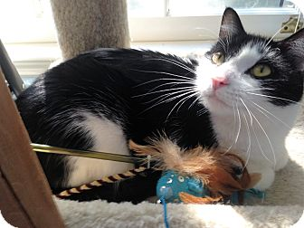 Domestic Mediumhair Cat for adoption in Atlanta, Georgia - Oscar