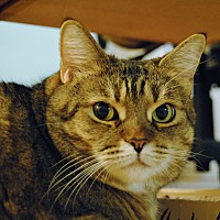 Domestic Shorthair Cat for adoption in Toronto, Ontario - Sheridan
