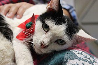 Domestic Shorthair Cat for adoption in Palmyra, New Jersey - Ilene