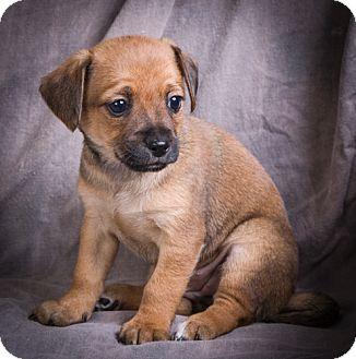 Shih Tzu Mix Puppy for adoption in Anna, Illinois - DAHLIA