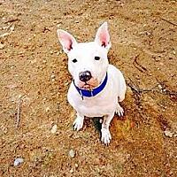 Pit Bull Terrier Mix Dog for adoption in Acushnet, Massachusetts - Dee