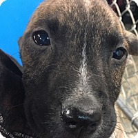 Adopt A Pet :: Doris Pup dark brindle - Pompton Lakes, NJ