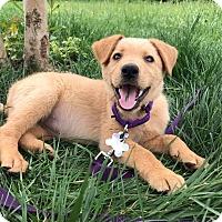 Adopt A Pet :: Poppy Pup - Portland, ME