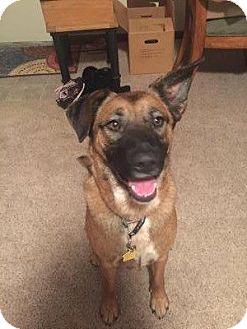 Belgian Malinois/Shepherd (Unknown Type) Mix Dog for adoption in Mt juliet, Tennessee - Anne oakley