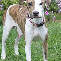 Whippet/Boxer Mix Dog for adoption in Orland Park, Illinois - Ella