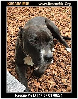American Staffordshire Terrier Mix Dog for adoption in Las Vegas, Nevada - Buddy