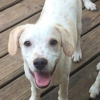 Adopt A Pet :: Daniel - Brattleboro, VT