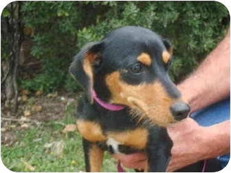 Dachshund Mix Dog for adoption in Brenham, Texas - Baby Girl