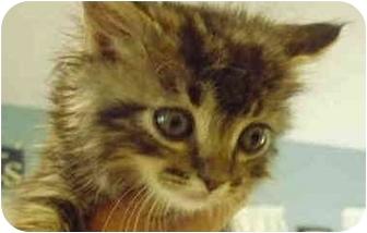 Domestic Mediumhair Kitten for adoption in San Clemente, California - LLOYD