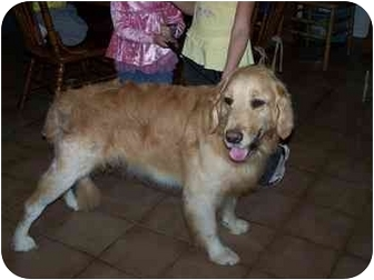 Golden Retriever Dog for adoption in Joshua Tree, California - Buddy
