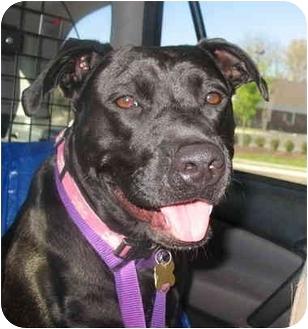 Labrador Retriever/American Pit Bull Terrier Mix Dog for adoption in Richmond, Virginia - Georgia