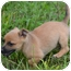 Photo 2 - Cairn Terrier/Chihuahua Mix Puppy for adoption in Staunton, Virginia - Alvin