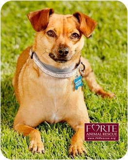 Dachshund/Chihuahua Mix Dog for adoption in Marina del Rey, California - Emvie