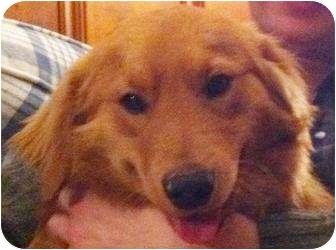 Golden Retriever Mix Dog for adoption in Chapel Hill, North Carolina - Sully/Peter