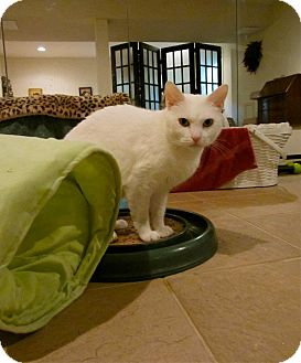 Domestic Shorthair Cat for adoption in Columbia, Maryland - Kindle