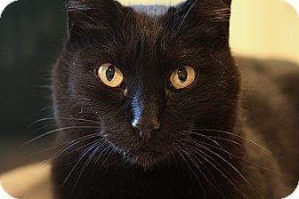 Domestic Shorthair Cat for adoption in Columbia, Maryland - Nemesis