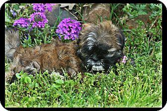 Shih Tzu Puppy for adoption in Cranford, New Jersey - Maddi