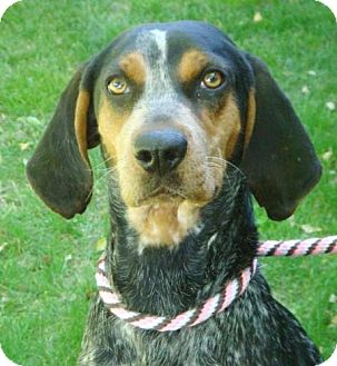 Bluetick Coonhound Mix Dog for adoption in Red Bluff, California - Calamity