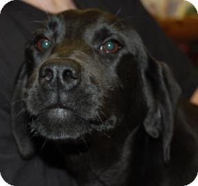 Labrador Retriever Mix Puppy for adoption in Brooklyn, New York - Pixie