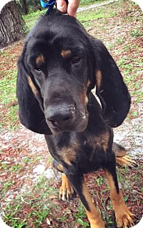 Black and Tan Coonhound Dog for adoption in Gainesville, Florida - Della