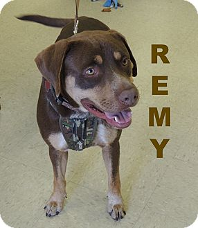 Retriever (Unknown Type)/Hound (Unknown Type) Mix Dog for adoption in Houston, Texas - Remy