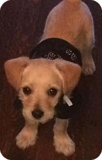 Terrier (Unknown Type, Small) Mix Puppy for adoption in Encino, California - Pepper