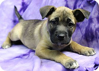 Boxer Mix Puppy for adoption in Westminster, Colorado - Ruby