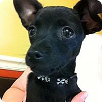 Adopt A Pet :: Hot Dog - Owensboro, KY