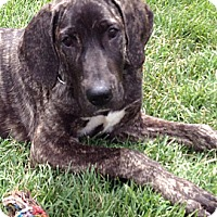 Adopt A Pet :: SAVANNAH - Torrance, CA