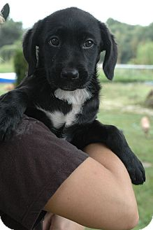 Labrador Retriever Mix Puppy for adoption in Greenfield, Wisconsin - Sadie