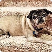 Adopt A Pet :: Gravy - Austin, TX