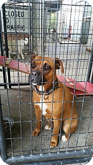 Boxer Mix Dog for adoption in Gustine, California - COCOA