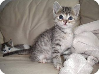 Domestic Shorthair Kitten for adoption in Wichita Falls, Texas - Miss Princess