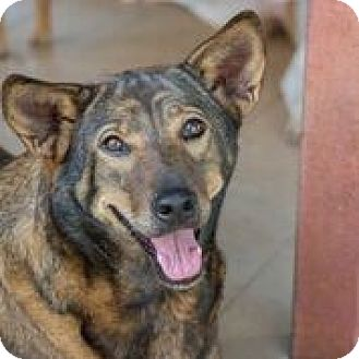 Labrador Retriever/German Shepherd Dog Mix Dog for adoption in Pickering, Ontario - Cocoa