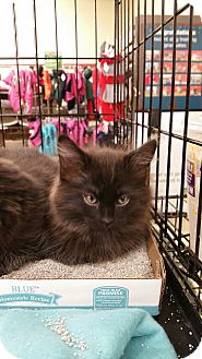Domestic Mediumhair Kitten for adoption in Ogden, Utah - Hawkeye