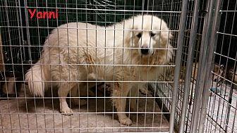 Great Pyrenees Dog for adoption in Newnan, Georgia - Yanni