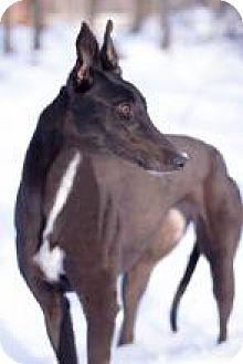 Greyhound Dog for adoption in Gerrardstown, West Virginia - E's Tweety Bird