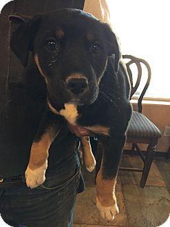 Black and Tan Coonhound/Rottweiler Mix Puppy for adoption in Chandler, Arizona - Sasha,Daisy
