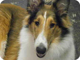 Collie Puppy for adoption in Powell, Ohio - Presley