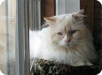 Siamese Cat for adoption in Flora, Illinois - Axel