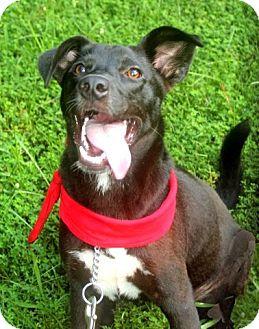 Border Collie/Labrador Retriever Mix Puppy for adoption in Burlington, Vermont - A - ABBIE