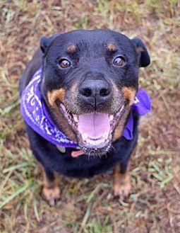 Rottweiler Dog for adoption in White Hall, Arkansas - Prada (Independent Adoption)