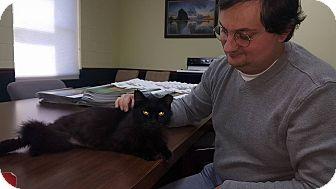 Domestic Longhair Cat for adoption in Albemarle, North Carolina - Shadow